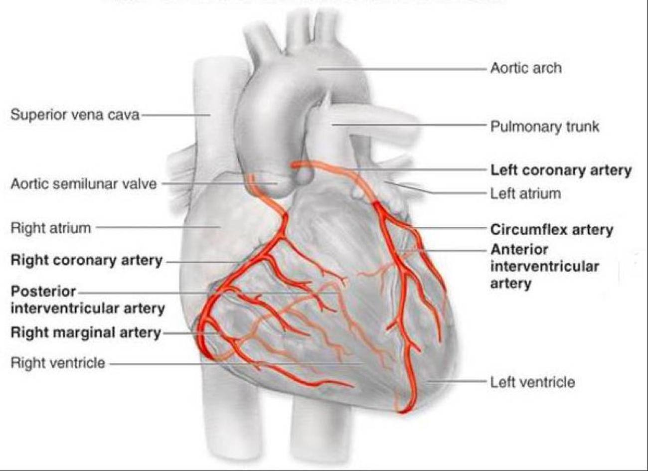 Pictures Of Cardiac Vasculature