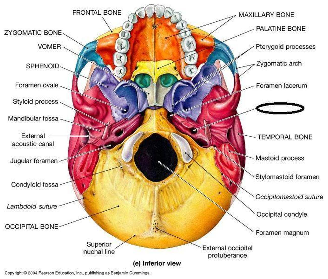Pictures Of Carotid Canal moreover Red Banner Ribbon   7276 besides Chanel No 5 label furthermore Left Ulna in addition Human Anatomy Labeling Worksheets. on skull label