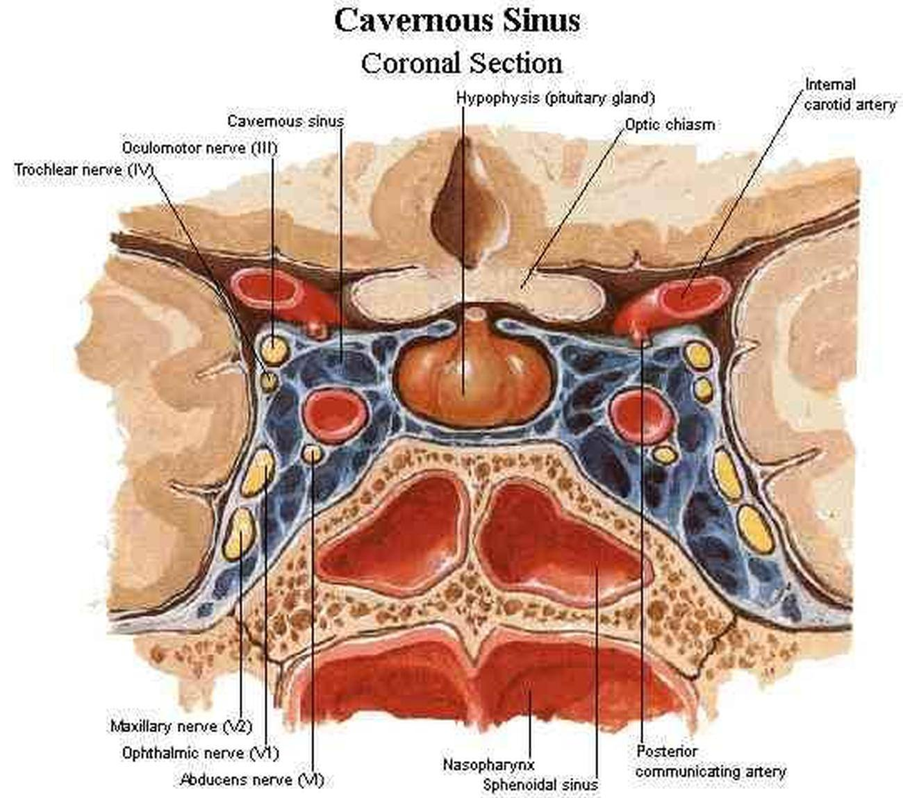 Pictures of cavernous sinus 227