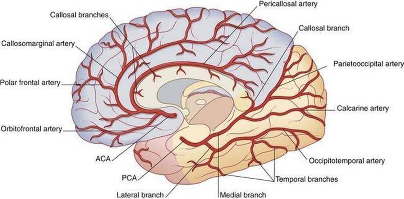 Pictures Of Cerebral Arteries