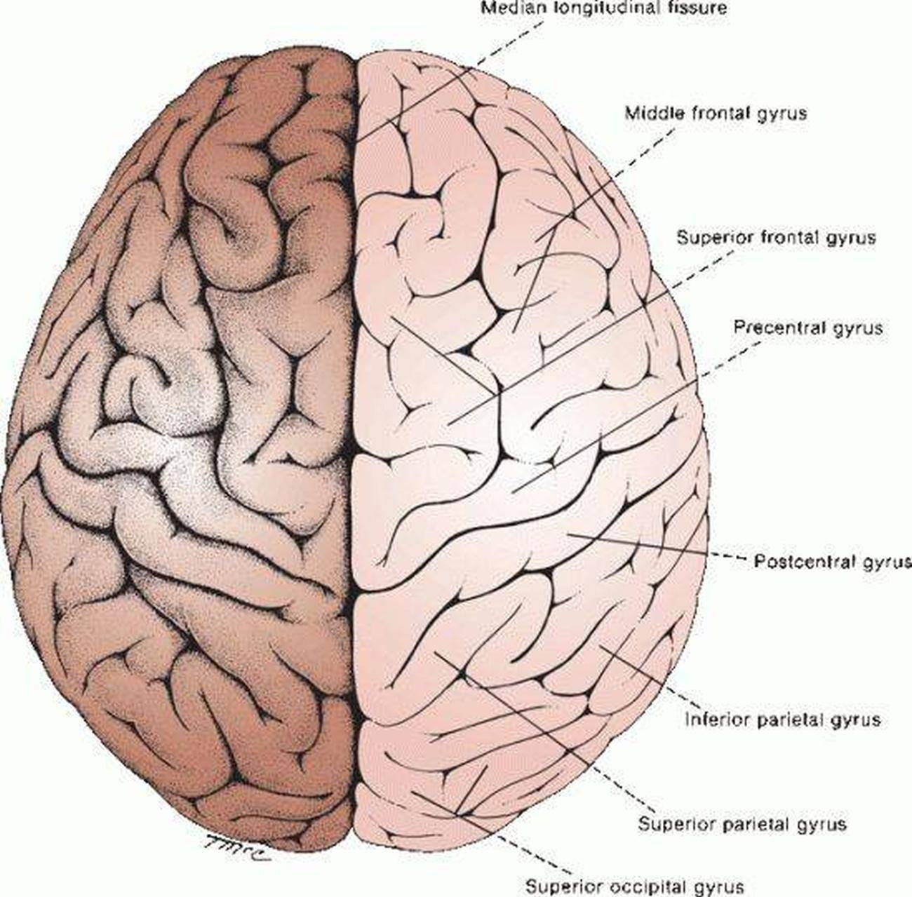 Pictures Of Cerebral Hemispheres
