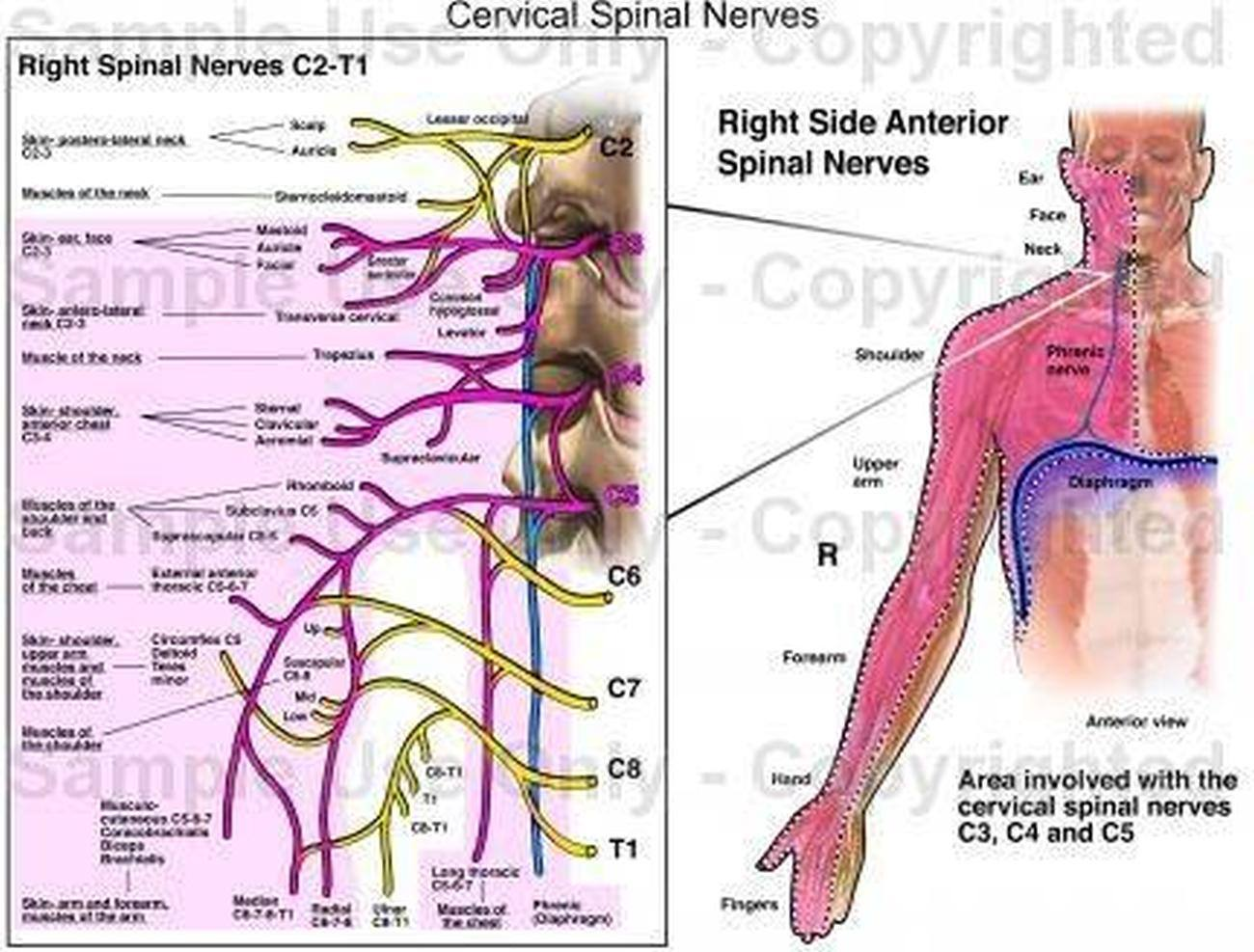 Pictures Of Cervical Spinal Nerve