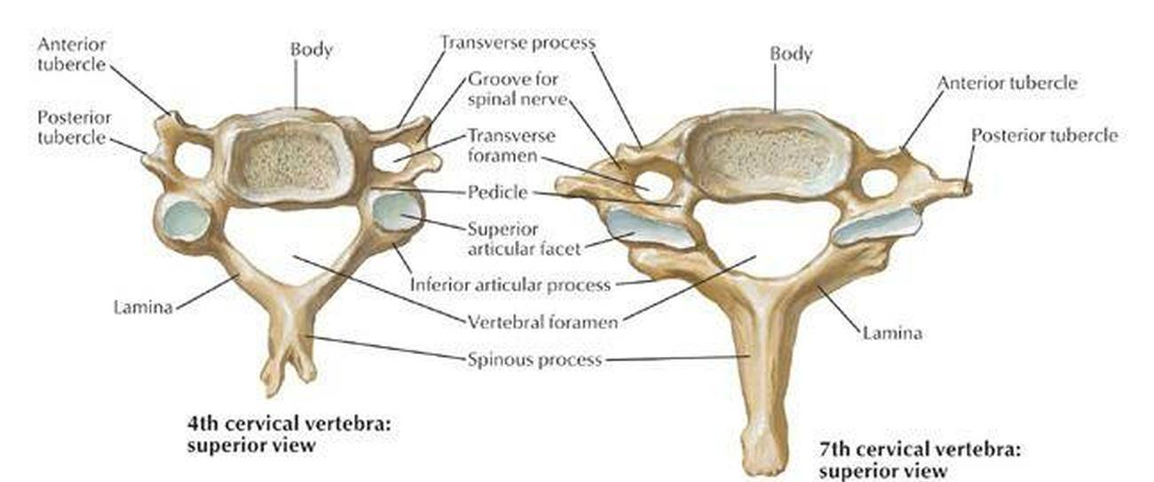 Pictures Of Cervical Vertebra