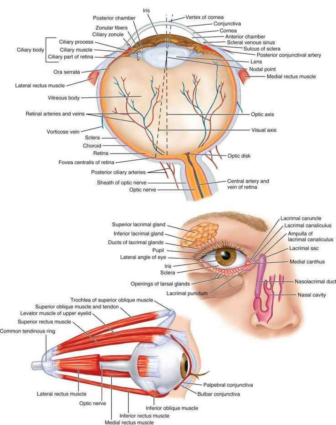 Pictures Of Ciliary Nerves