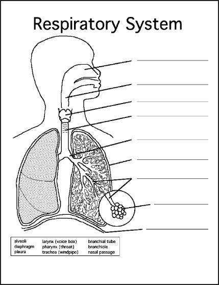 respiratory system diagram unlabeled unlabelled human lungs diagram #2