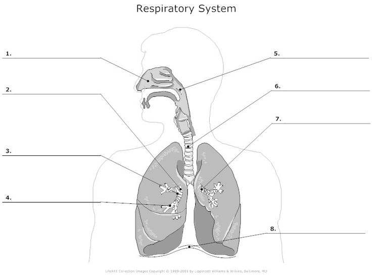 respiratory system diagram unlabeled simple diagram of human lungs unlabelled human lungs diagram #3