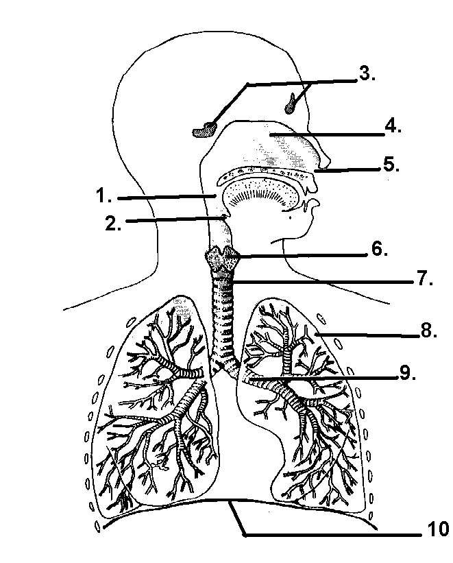 unlabelled human lungs diagram respiratory system diagram unlabeled printable human body diagram injury