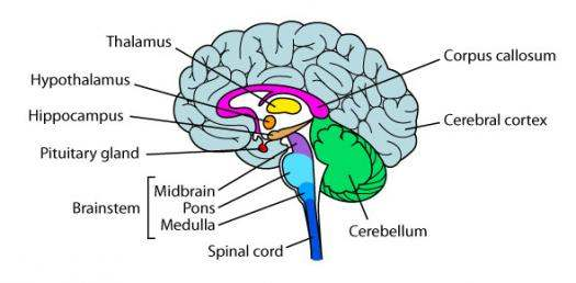 Simple Diagram Of Brain