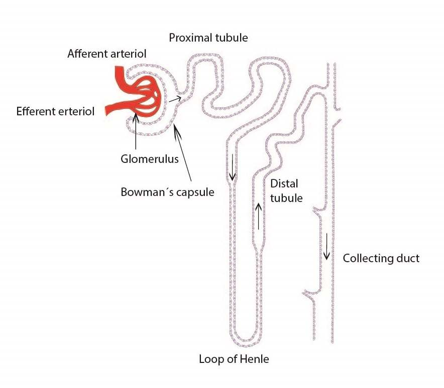 simple nephron diagram