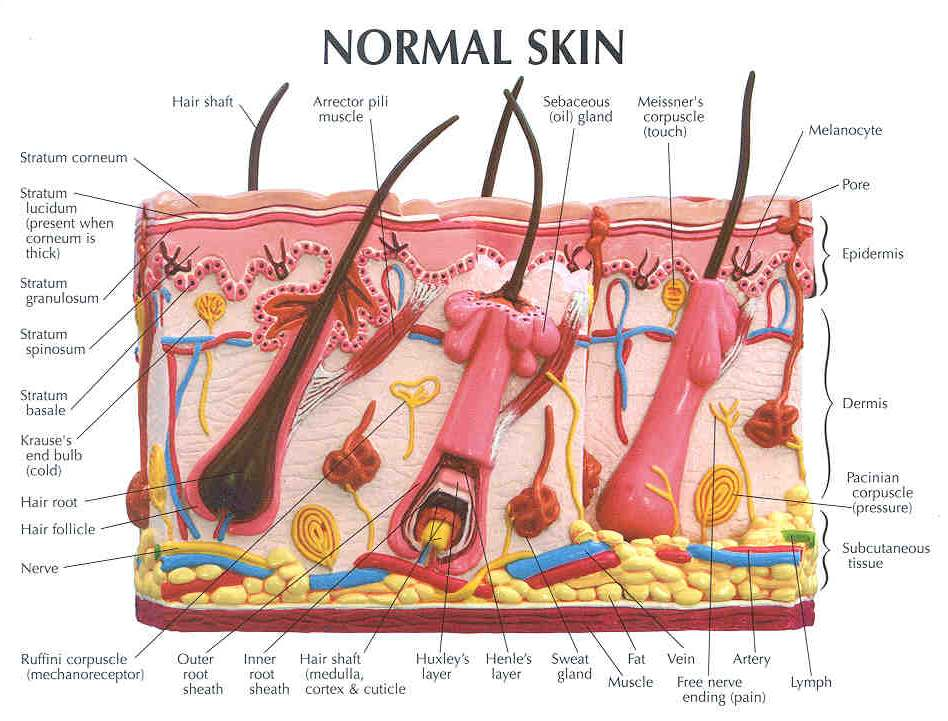 Skin Diagram Labeled