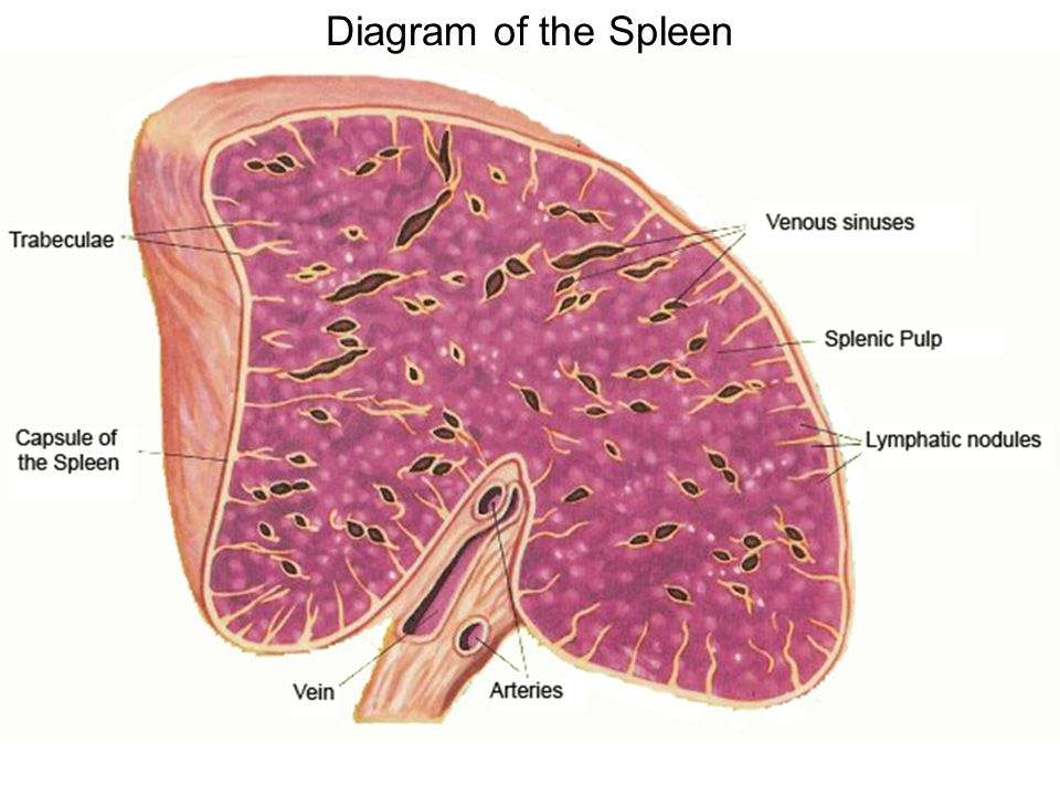 Spleen Diagram