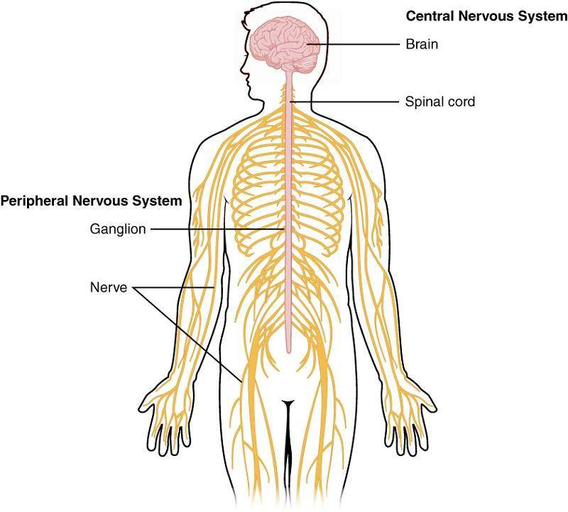 The Nervous System Diagram