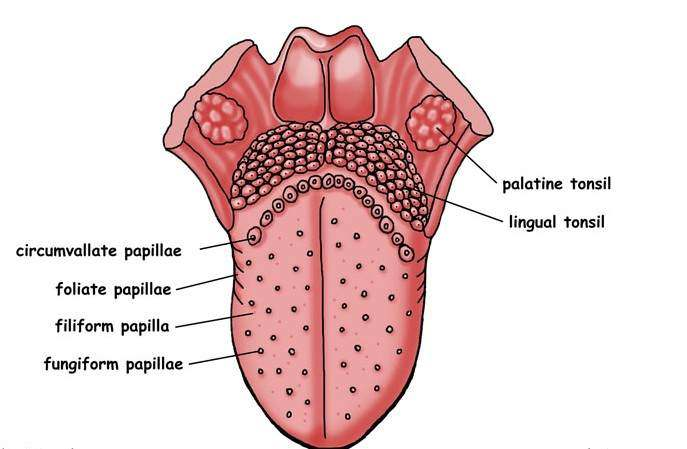 Tongue diagram