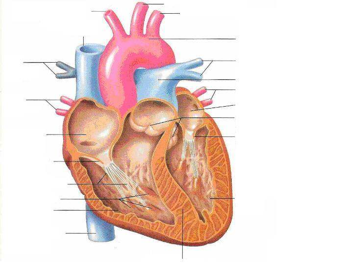Unlabelled heart diagram