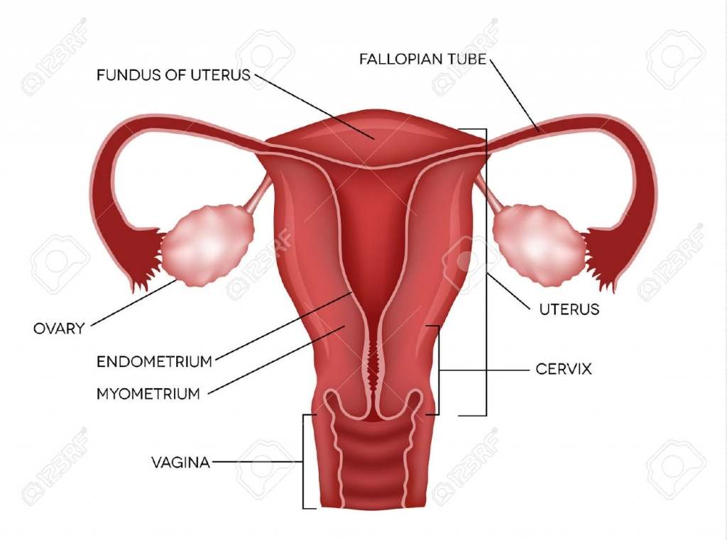 Uterus diagram