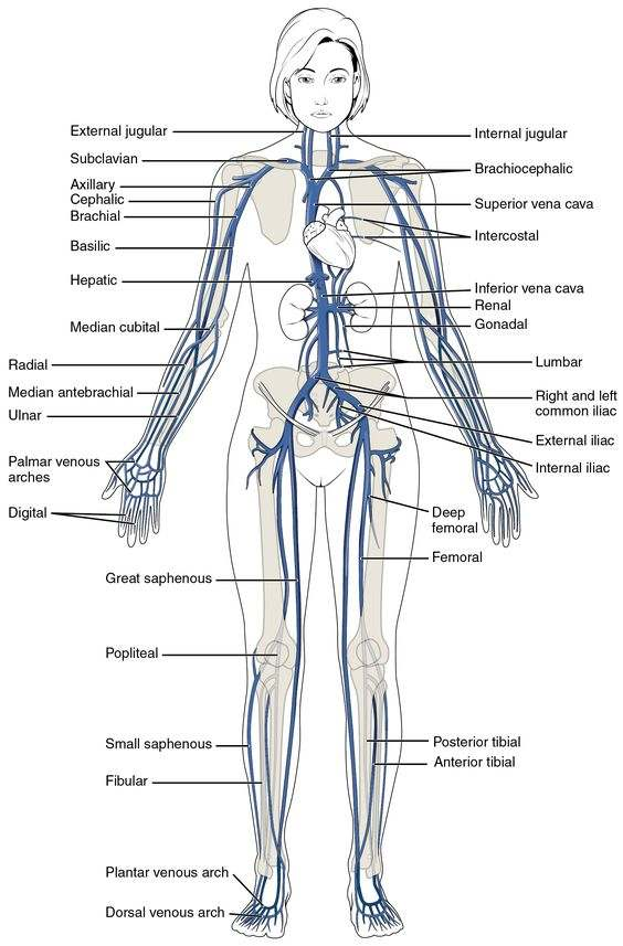 Veins diagram
