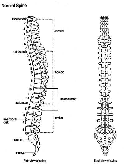 Vertebrae diagram