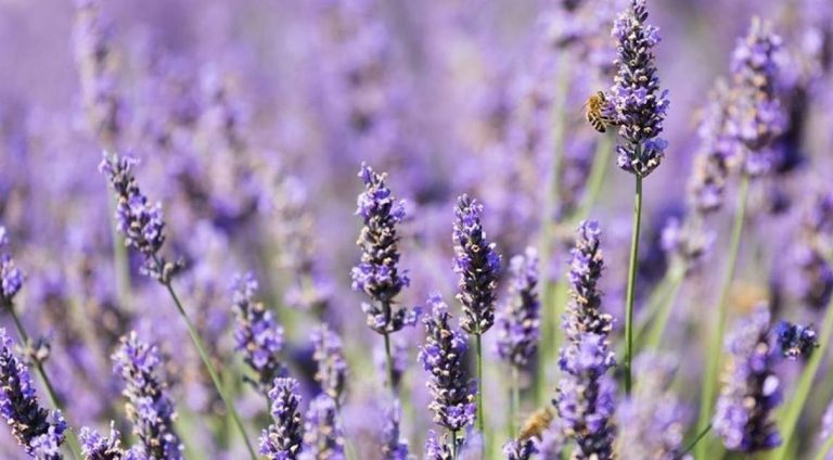 Lavender Oil For Aromatherapy – Pure Essence Of Bliss!