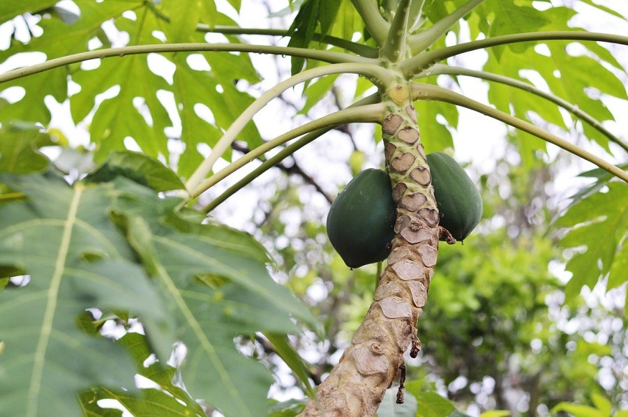 papaya-tree2